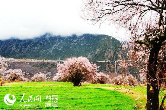 西藏林芝·雅鲁藏布大峡谷桃花盛开