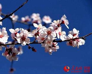 西藏林芝桃花旅游文化节开幕