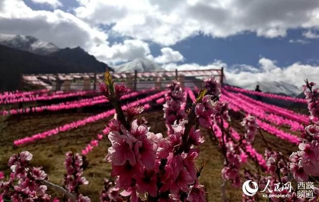 拉萨达东村盛开的桃花