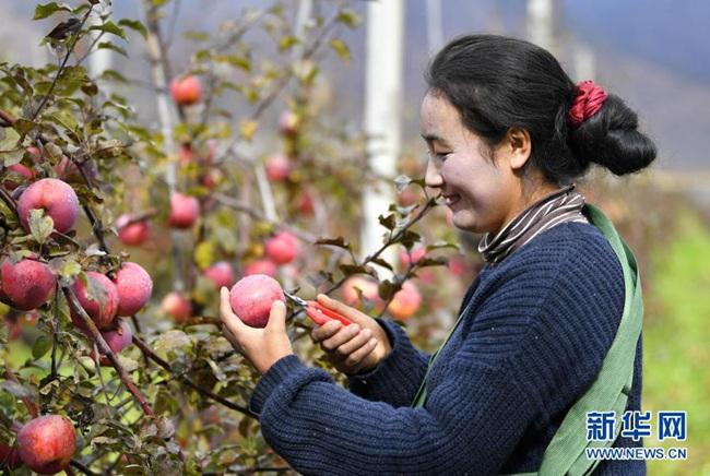 西藏林芝点相:高原苹果喜获丰收(图)