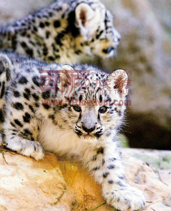 与另一种猫科动物猞猁类似,雪豹也有着大且被毛的足部,这双大脚的作用